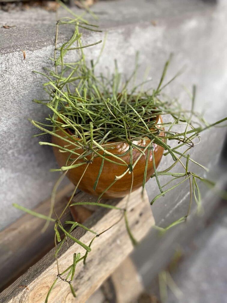 Zdjęcie Hoya retusa w kategorii rośliny, ujęcie 2