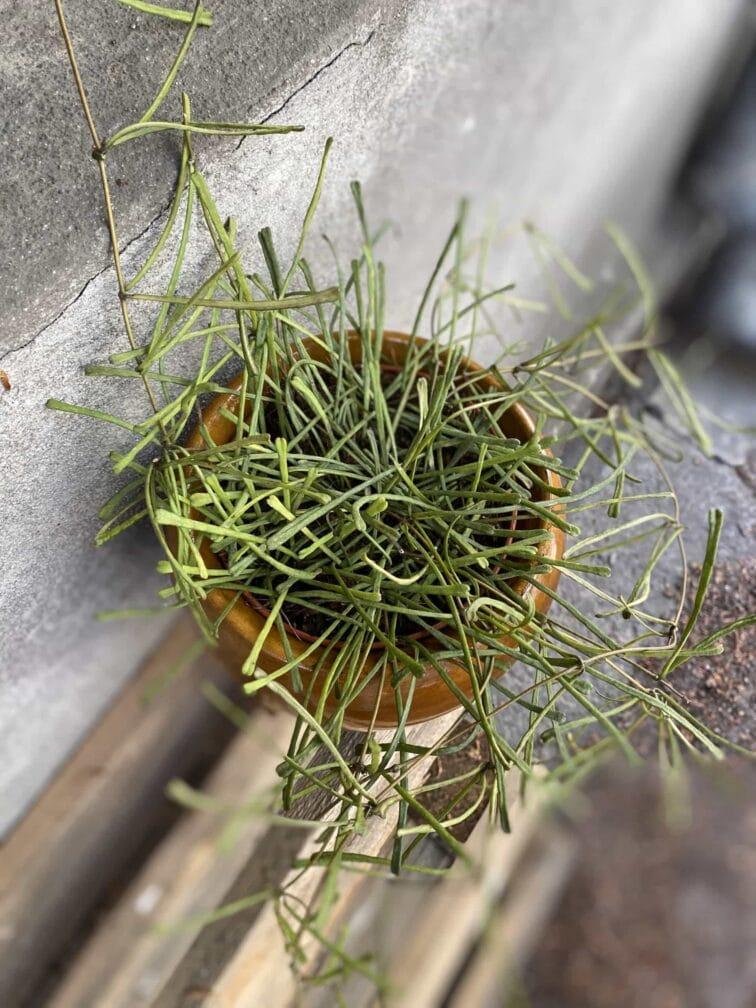 Zdjęcie Hoya retusa w kategorii rośliny, ujęcie 3