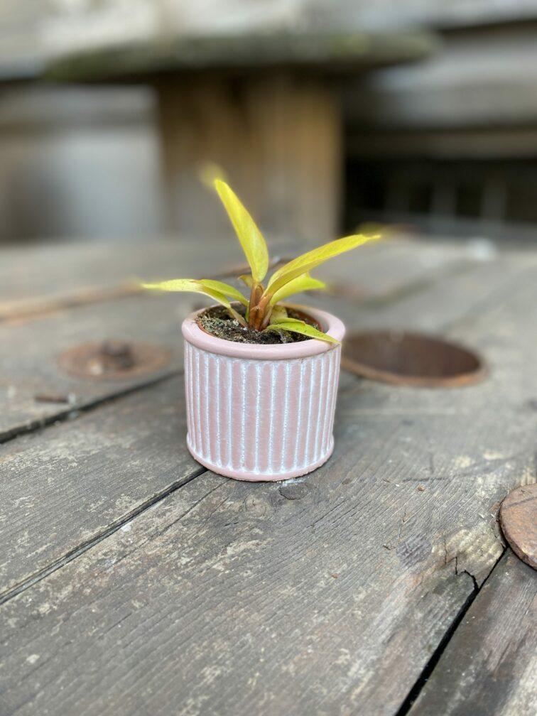 Zdjęcie Indian Pink 6x6 cm w kategorii doniczki, ujęcie 2