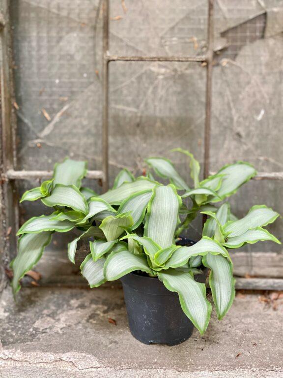 Zdjęcie Murdannia loriformis Bright Star w kategorii rośliny, ujęcie 1