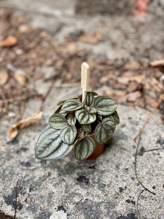 Zdjęcie Peperomia Piccolo Banda w kategorii rośliny, ujęcie 1