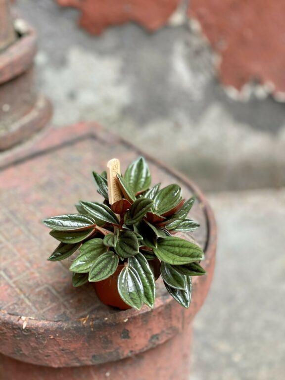 Zdjęcie Peperomia Rosso w kategorii rośliny, ujęcie 1