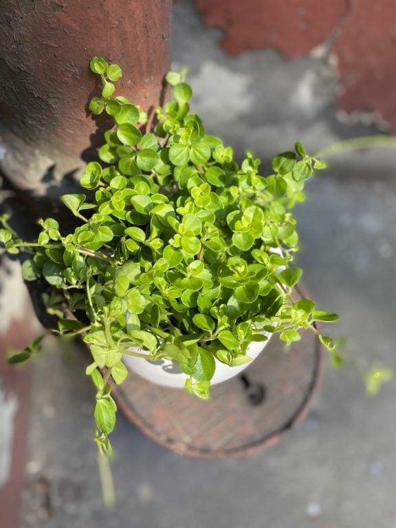 Zdjęcie Peperomia rotundifolia w kategorii rośliny, ujęcie 1