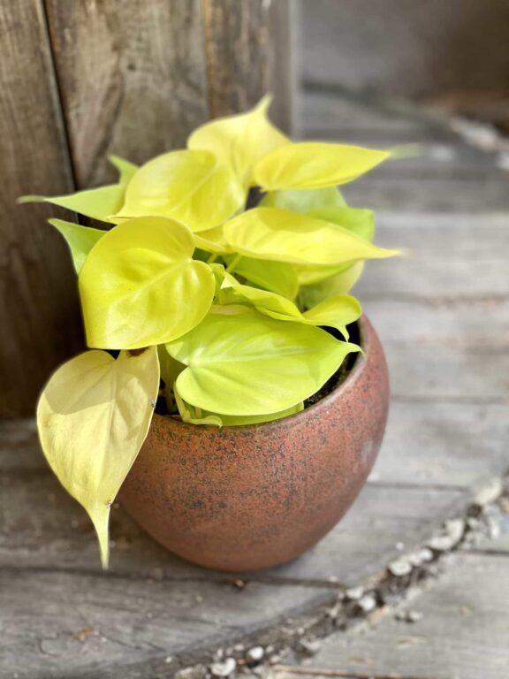 Zdjęcie Philodendron Scandens Lemon Lime w kategorii rośliny, ujęcie 1