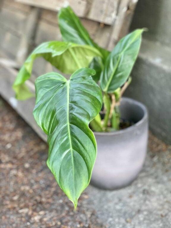 Zdjęcie Philodendron Subhastatum w kategorii rośliny, ujęcie 1
