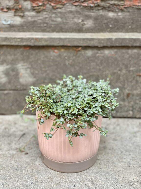 Zdjęcie Pilea Grazy w kategorii rośliny, ujęcie 1