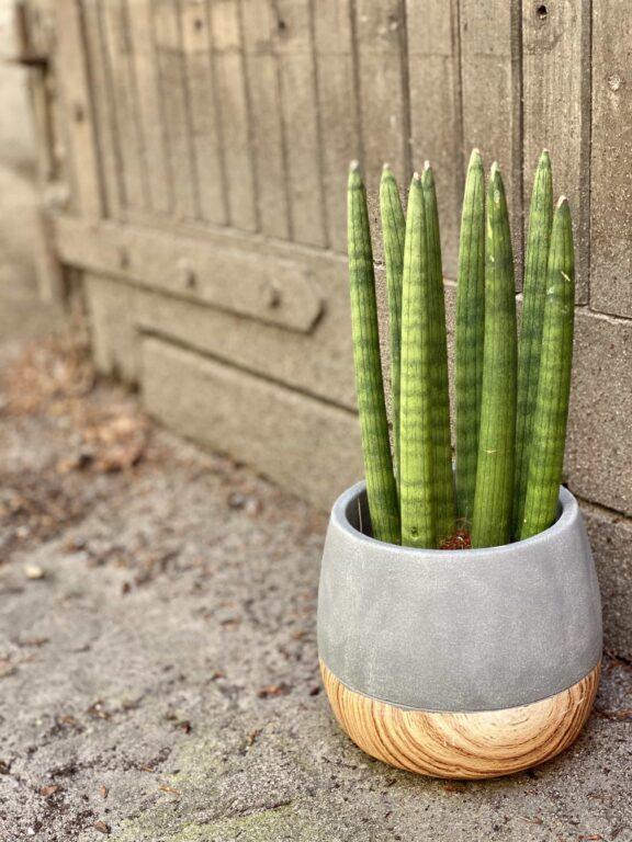 Zdjęcie Sansevieria Cylindrica Straight w kategorii rośliny, ujęcie 1