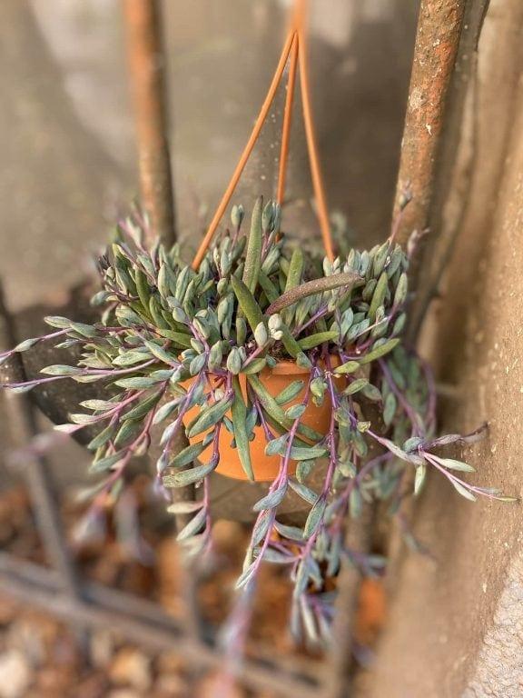 Zdjęcie Senecio herreianus Purple Flush w kategorii rośliny, ujęcie 1