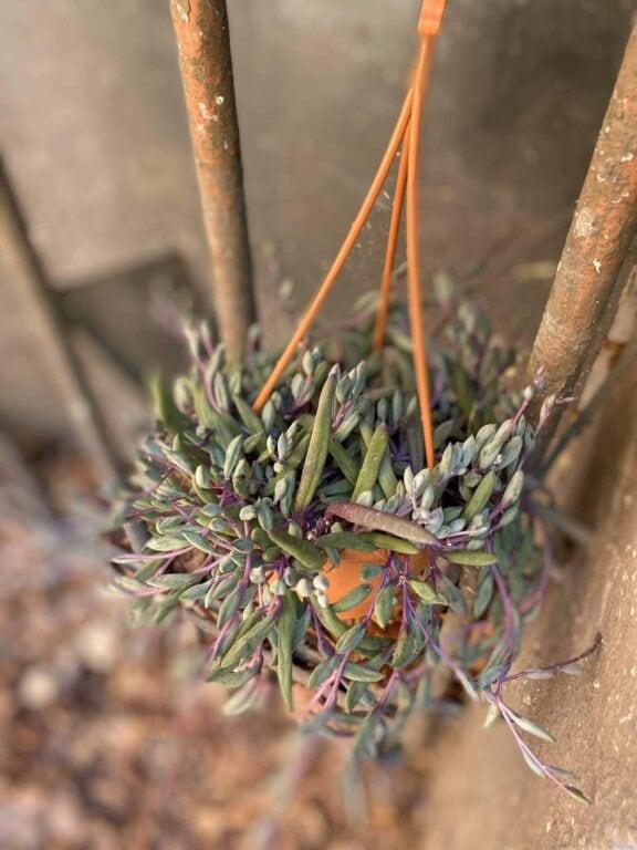 Zdjęcie Senecio herreianus Purple Flush w kategorii rośliny, ujęcie 2