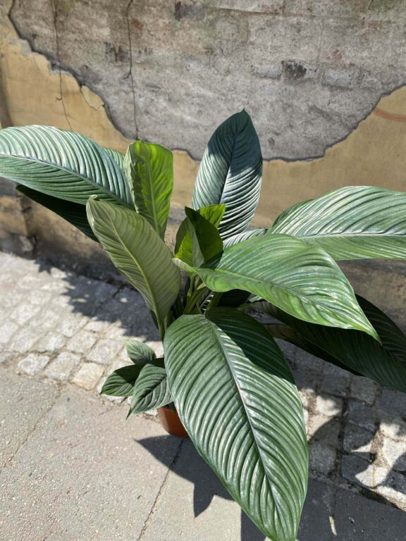 Zdjęcie Spathiphyllum Sensation w kategorii rośliny, ujęcie 1