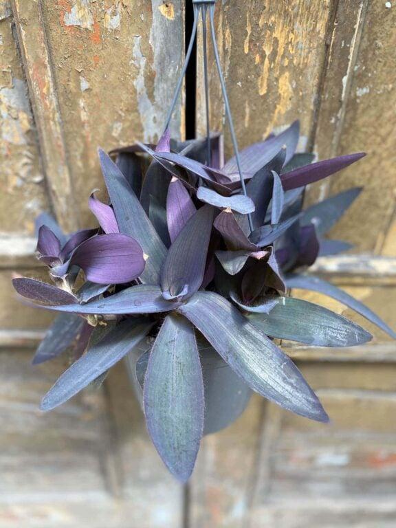 Zdjęcie Tradescantia Purple Heart (Trzykrotka) w kategorii rośliny, ujęcie 1
