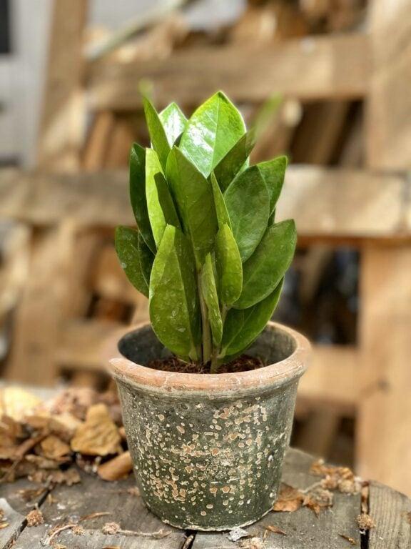 Zdjęcie Zamioculcas Supreme w kategorii rośliny, ujęcie 1