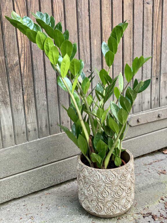 Zdjęcie Zamioculcas Zamiifolia w kategorii rośliny, ujęcie 1