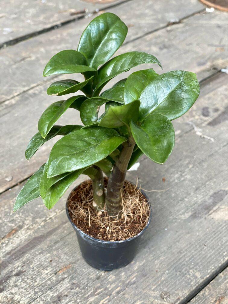 Zdjęcie Zamioculcas Zenzi w kategorii rośliny, ujęcie 2