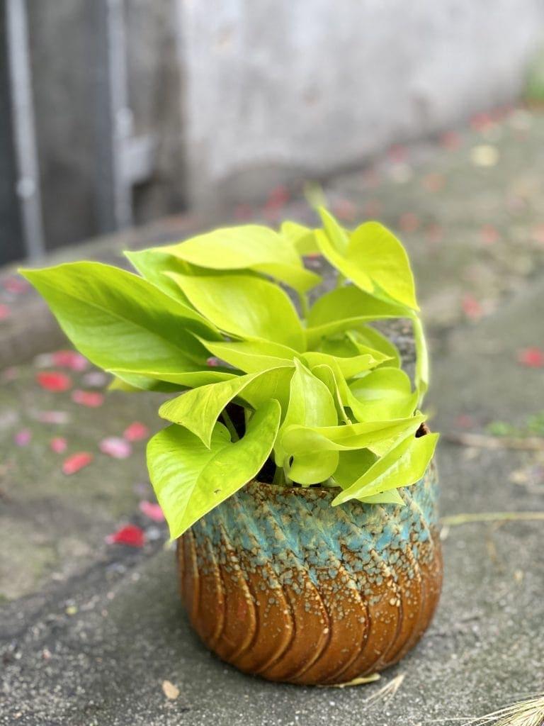 limonkowe epipremnum golden pothos