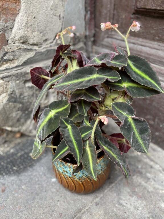 Zdjęcie Begonia listada w kategorii rośliny, ujęcie 1