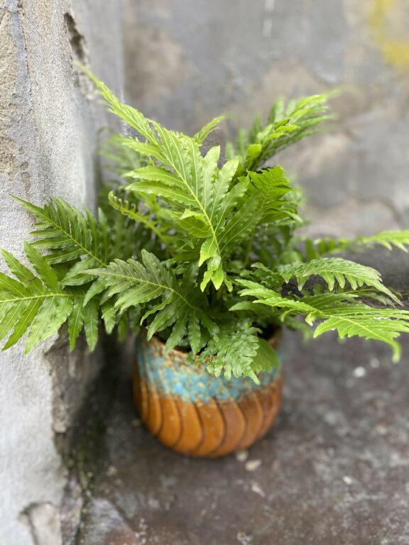 Zdjęcie Blechnum gibbum Silver Lady w kategorii rośliny, ujęcie 1