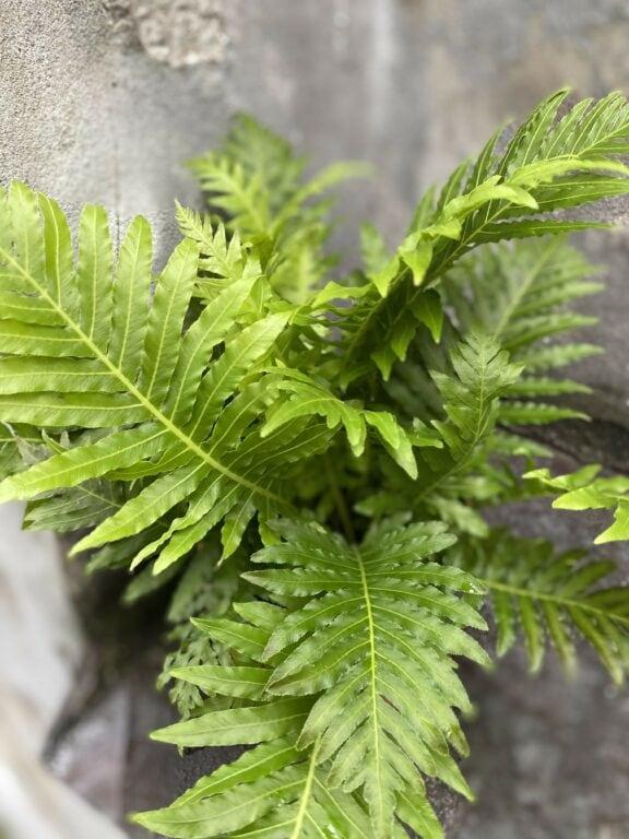 Zdjęcie Blechnum gibbum Silver Lady w kategorii rośliny, ujęcie 2