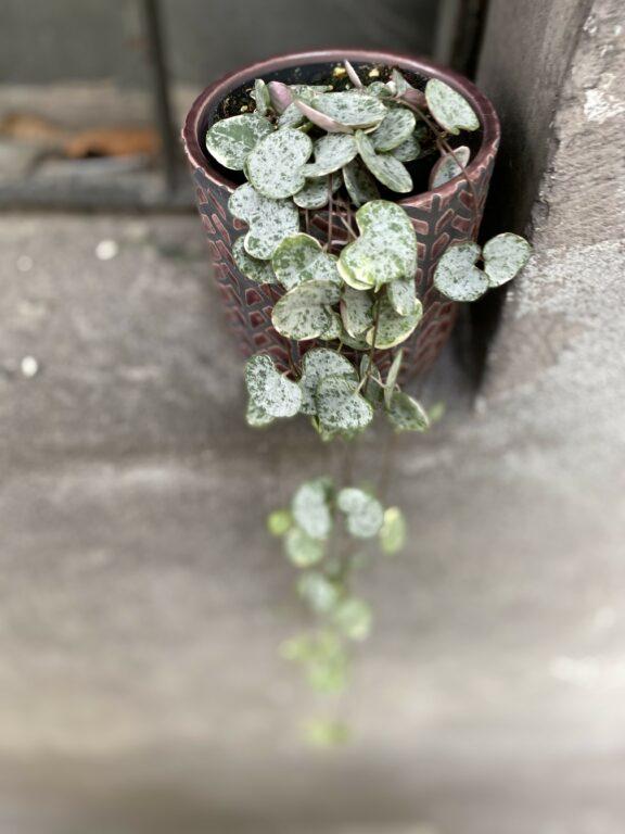 Zdjęcie Ceropegia woodii Marlies variegata w kategorii rośliny, ujęcie 1