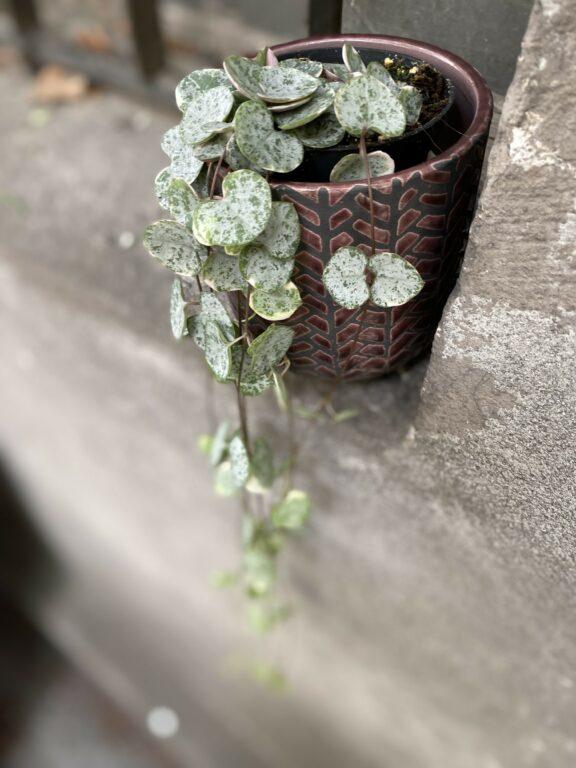 Zdjęcie Ceropegia woodii Marlies variegata w kategorii rośliny, ujęcie 2