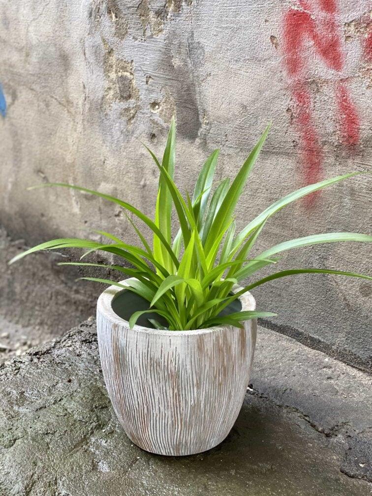 Zdjęcie Chlorophytum comosum Lemon (Zielistka) w kategorii rośliny, ujęcie 2