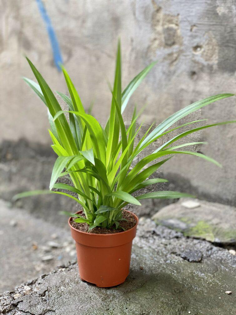 Zdjęcie Chlorophytum comosum Lemon (Zielistka) w kategorii rośliny, ujęcie 3
