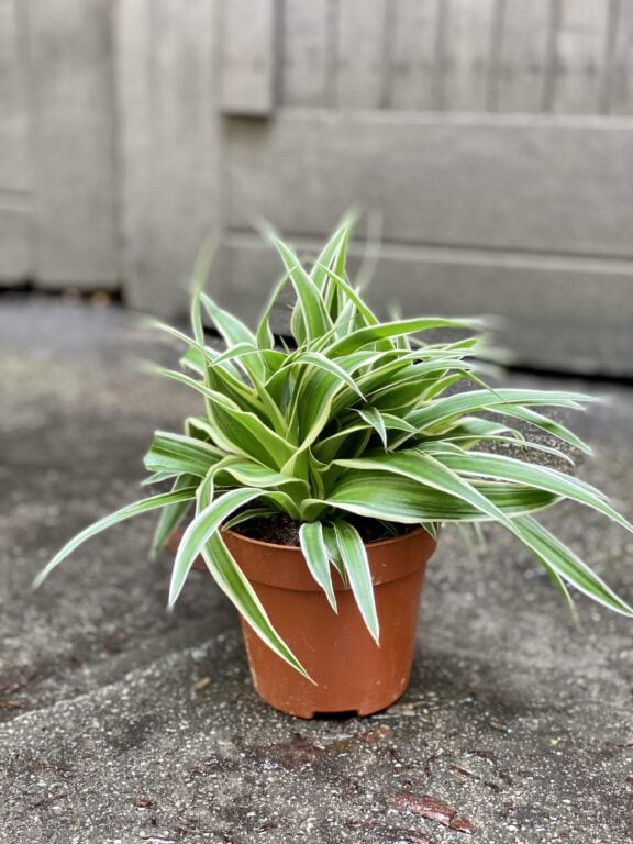 Zdjęcie Chlorophytum comosum Ocean (Zielistka) w kategorii rośliny, ujęcie 1