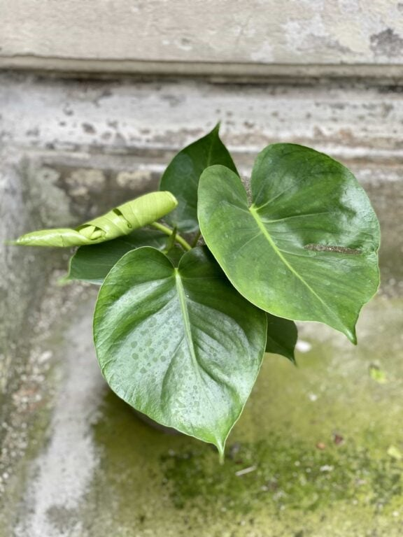 Zdjęcie Monstera Deliciosa w kategorii rośliny, ujęcie 2