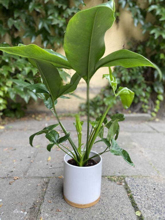Zdjęcie Osłonka Bamboo 15x17 cm w kategorii doniczki, ujęcie 1