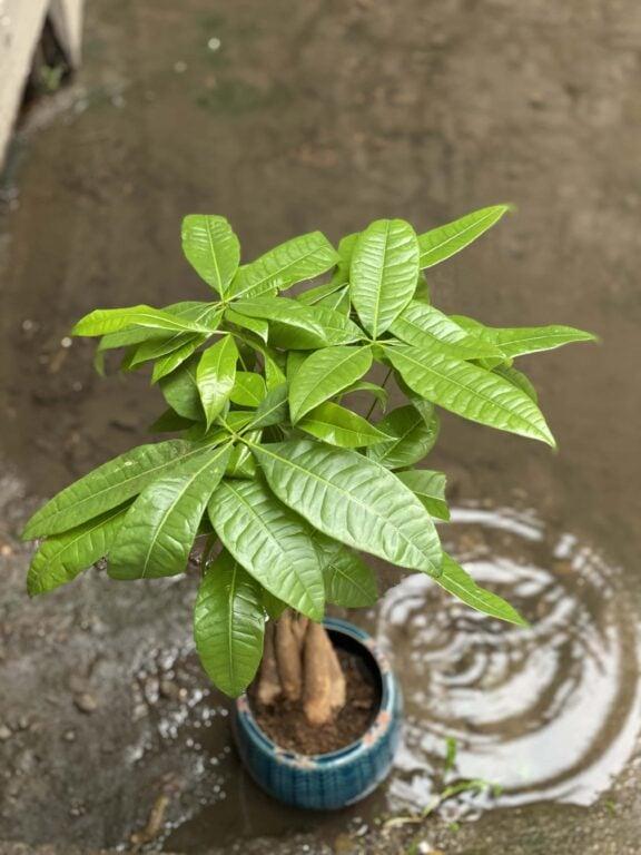 Zdjęcie Pachira Aquatica (Pachira Wodna) w kategorii rośliny, ujęcie 1