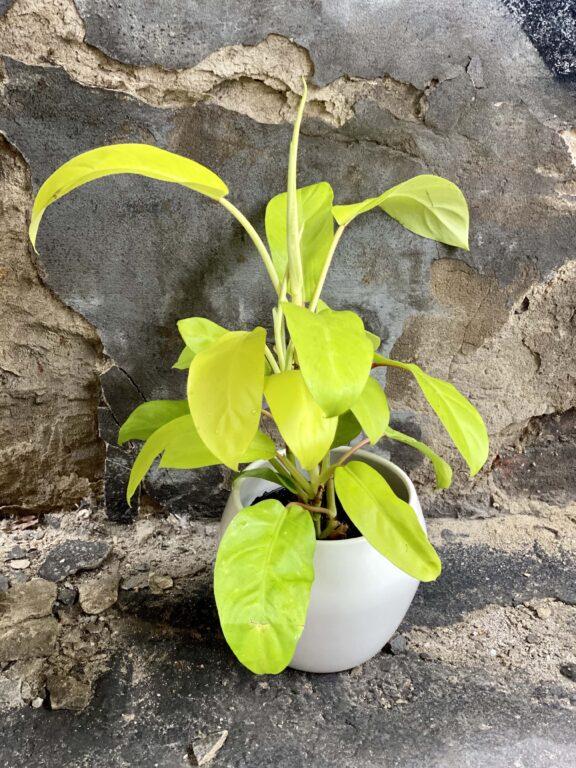 Zdjęcie Philodendron Malay Gold w kategorii rośliny, ujęcie 1