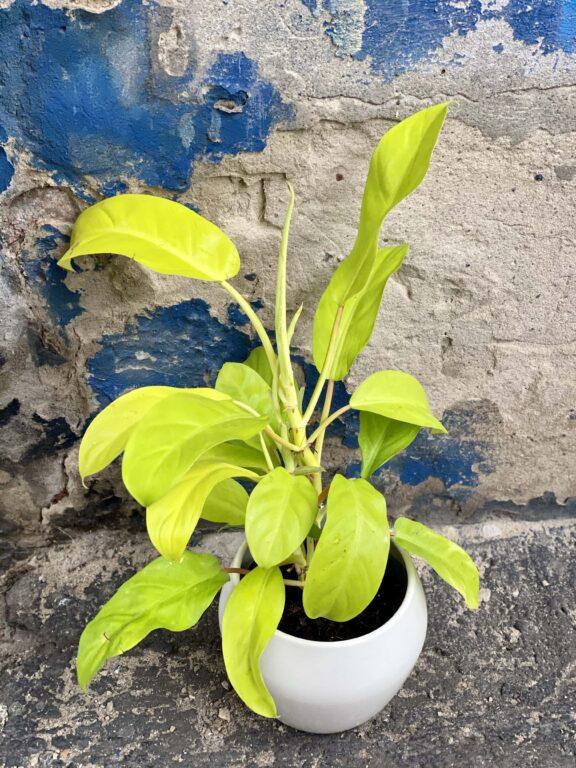 Zdjęcie Philodendron Malay Gold w kategorii rośliny, ujęcie 2