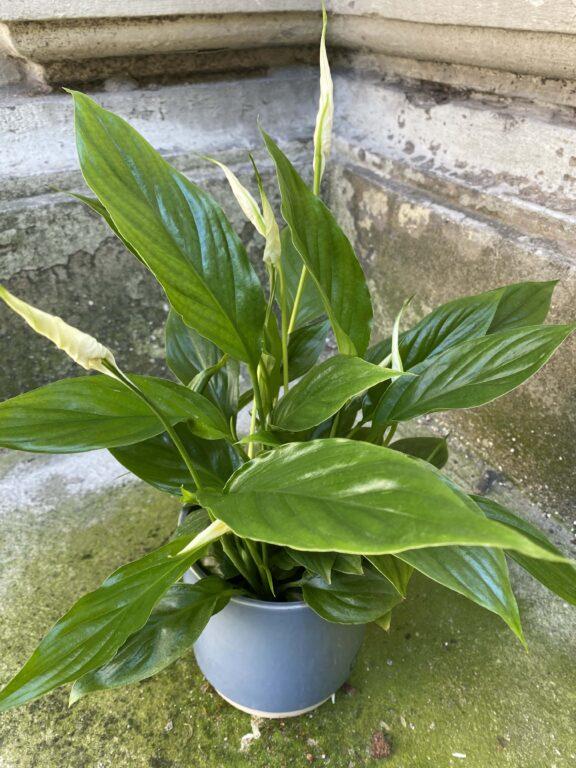 Zdjęcie Spathiphyllum (Skrzydłokwiat) w kategorii rośliny, ujęcie 1