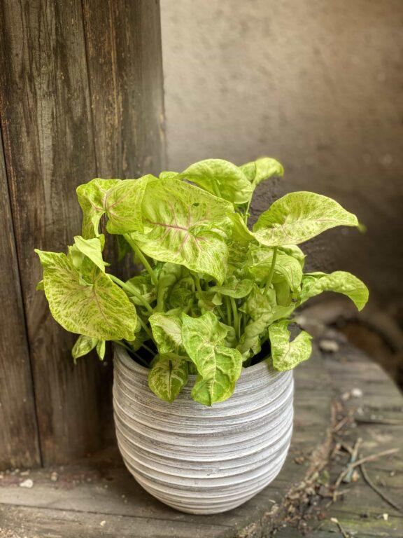 Zdjęcie Syngonium Mango Allusion w kategorii rośliny, ujęcie 1