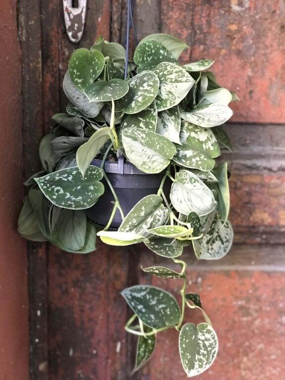 Zdjęcie Scindapsus Pictus Silvery Ann w kategorii rośliny, ujęcie 1