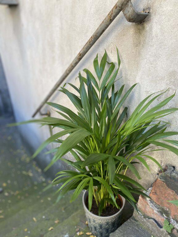 Zdjęcie rośliny Chamaedorea Elegans (Chemedora Wytworna), ujęcie 1