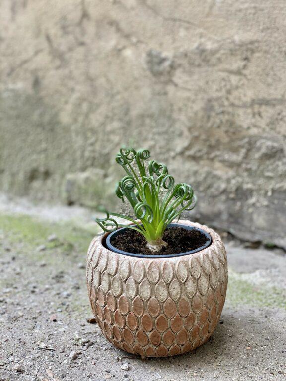 Zdjęcie Albuca spiralis 'Frizzle Sizzle' w kategorii rośliny, ujęcie 1