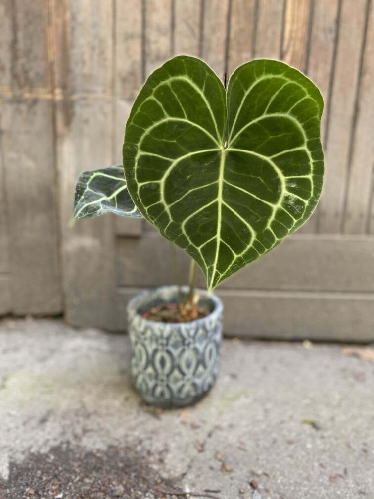 Zdjęcie Anthurium Clarine w kategorii rośliny, ujęcie 1