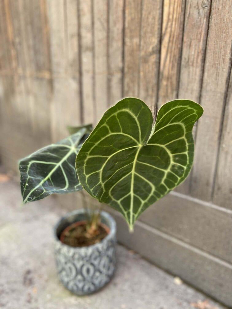 Zdjęcie Anthurium Clarine w kategorii rośliny, ujęcie 2