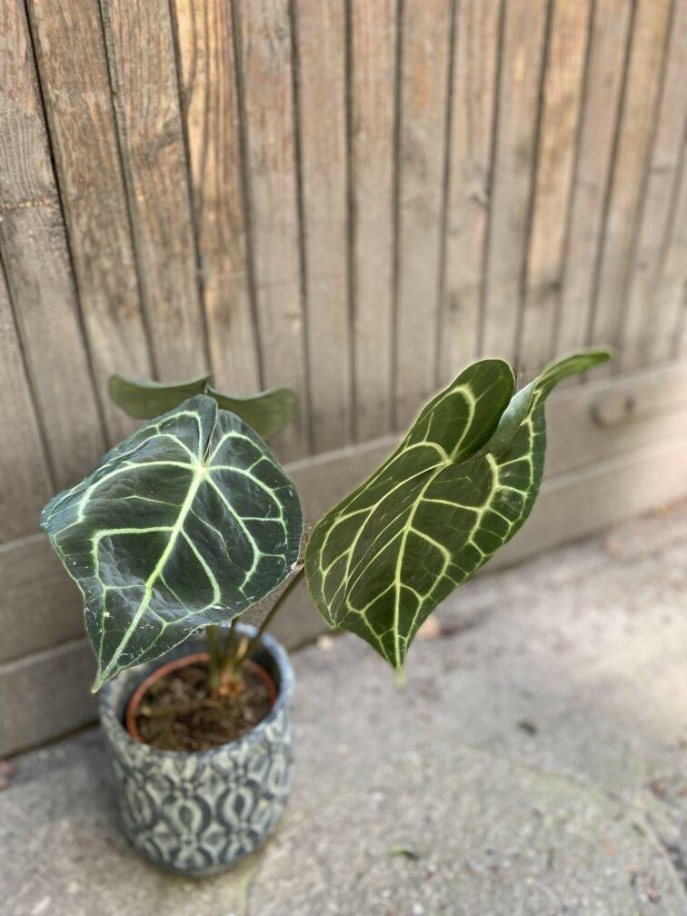 Zdjęcie Anthurium Clarine w kategorii rośliny, ujęcie 3