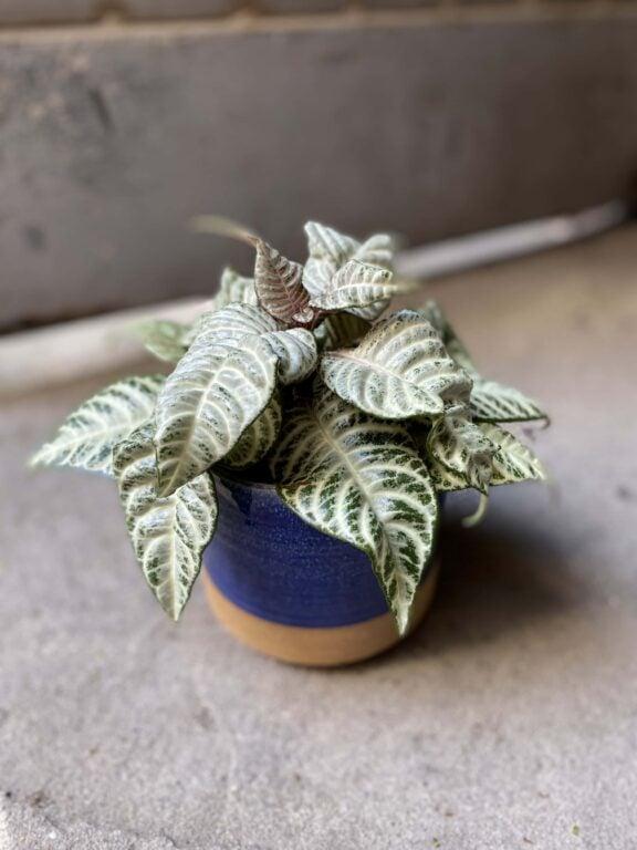 Zdjęcie Aphelandra White Wash w kategorii rośliny, ujęcie 1