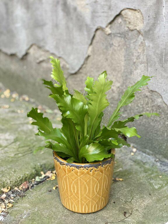 Zdjęcie Asplenium Nidus Campio w kategorii rośliny, ujęcie 1