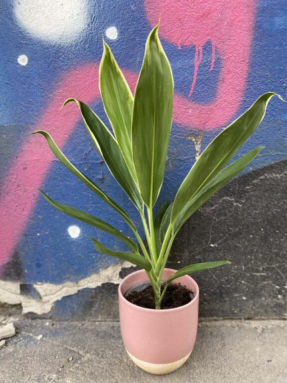 Zdjęcie Cordyline Fruticosa Conga w kategorii rośliny, ujęcie 1
