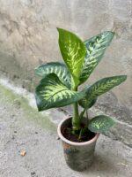 Zdjęcie Diffenbachia Tropic Snow w kategorii rośliny, ujęcie 1
