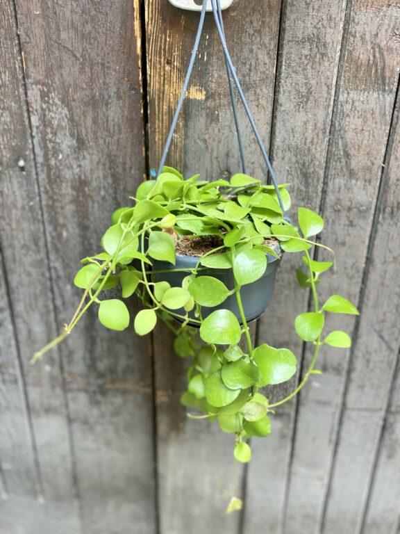 Zdjęcie Dishidia imbricata w kategorii rośliny, ujęcie 1