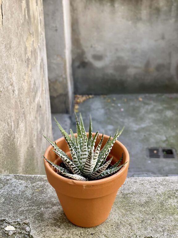 Zdjęcie Haworthia fasciata w kategorii rośliny, ujęcie 1