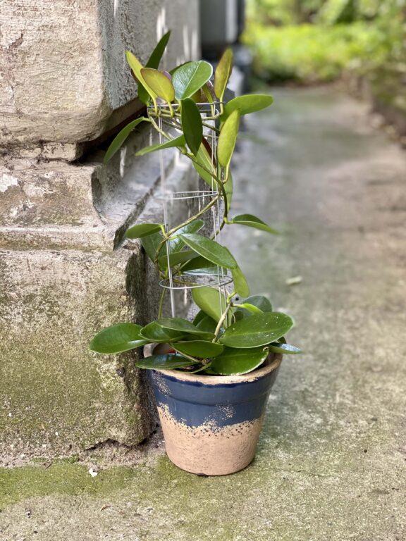 Zdjęcie Hoya australis w kategorii rośliny, ujęcie 1