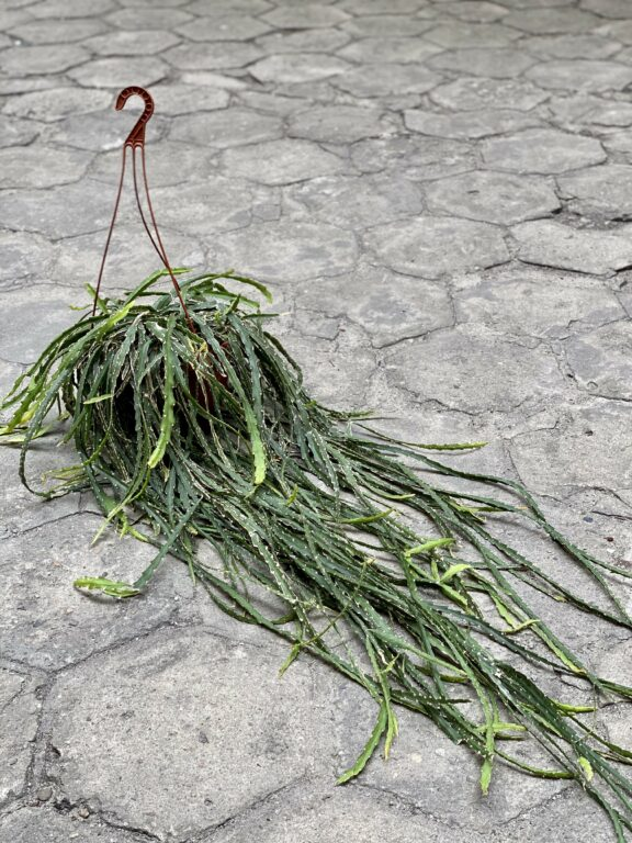 Zdjęcie Lepismium cruciforme w kategorii rośliny, ujęcie 1