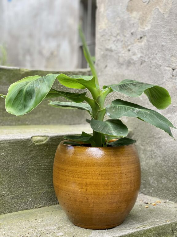 Zdjęcie Musa Super Dwarf Cavendish w kategorii rośliny, ujęcie 1