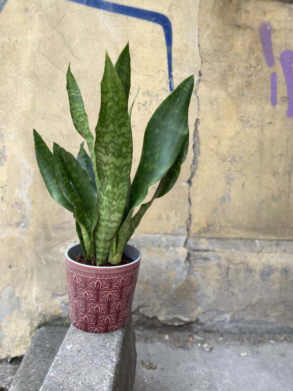 Zdjęcie Sansevieria Aubrytniana Jade w kategorii rośliny, ujęcie 1